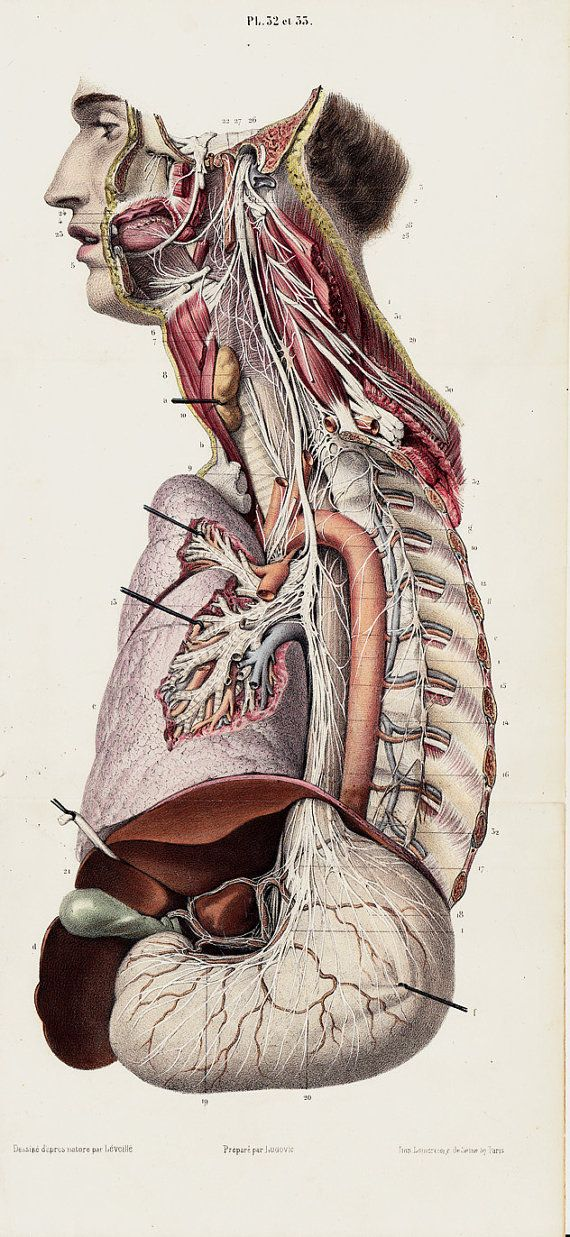 1853 Large Antique Anatomy Print Medical Lithograph Pneumogastric