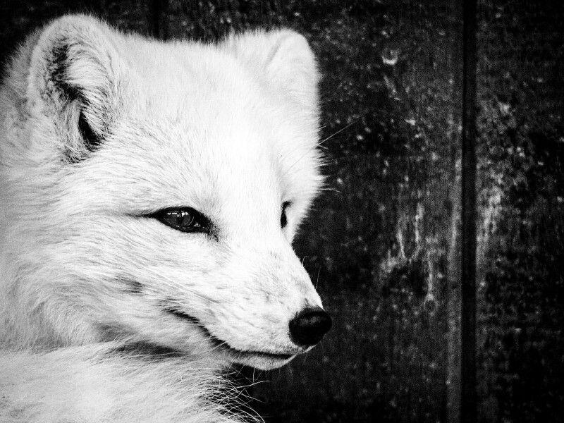#arctic #fox #blackandwhite #olympus #omdem1