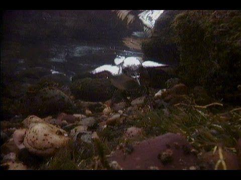 """Bird """"Flies"""" Underwater"""