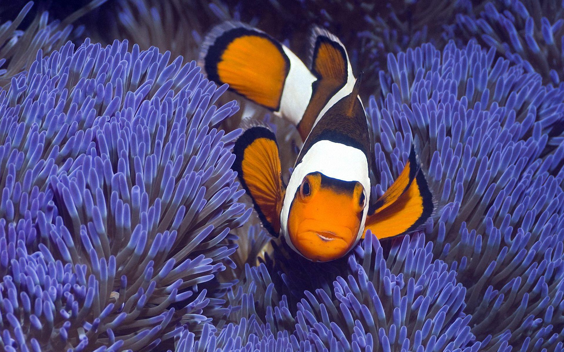 Tropical Fish Wallpaper 149363 1920x1200 Jpg 1920 1200 Fish Wallpaper Clown Fish Tropical Fish