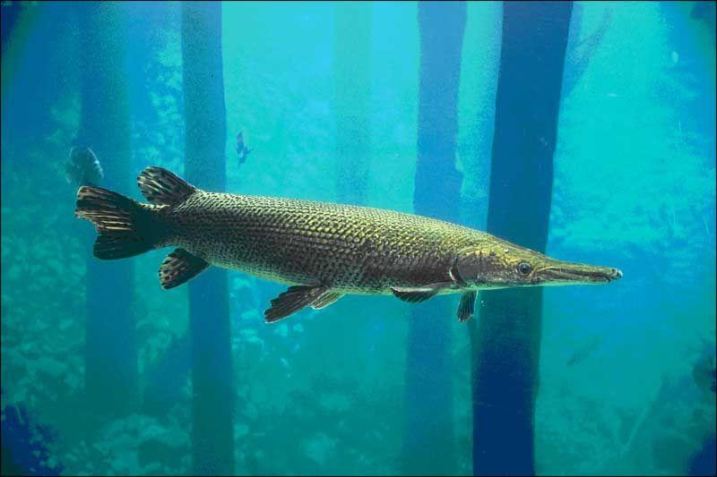 Image result for florida gar fish fossils nature for Freshwater gar fish