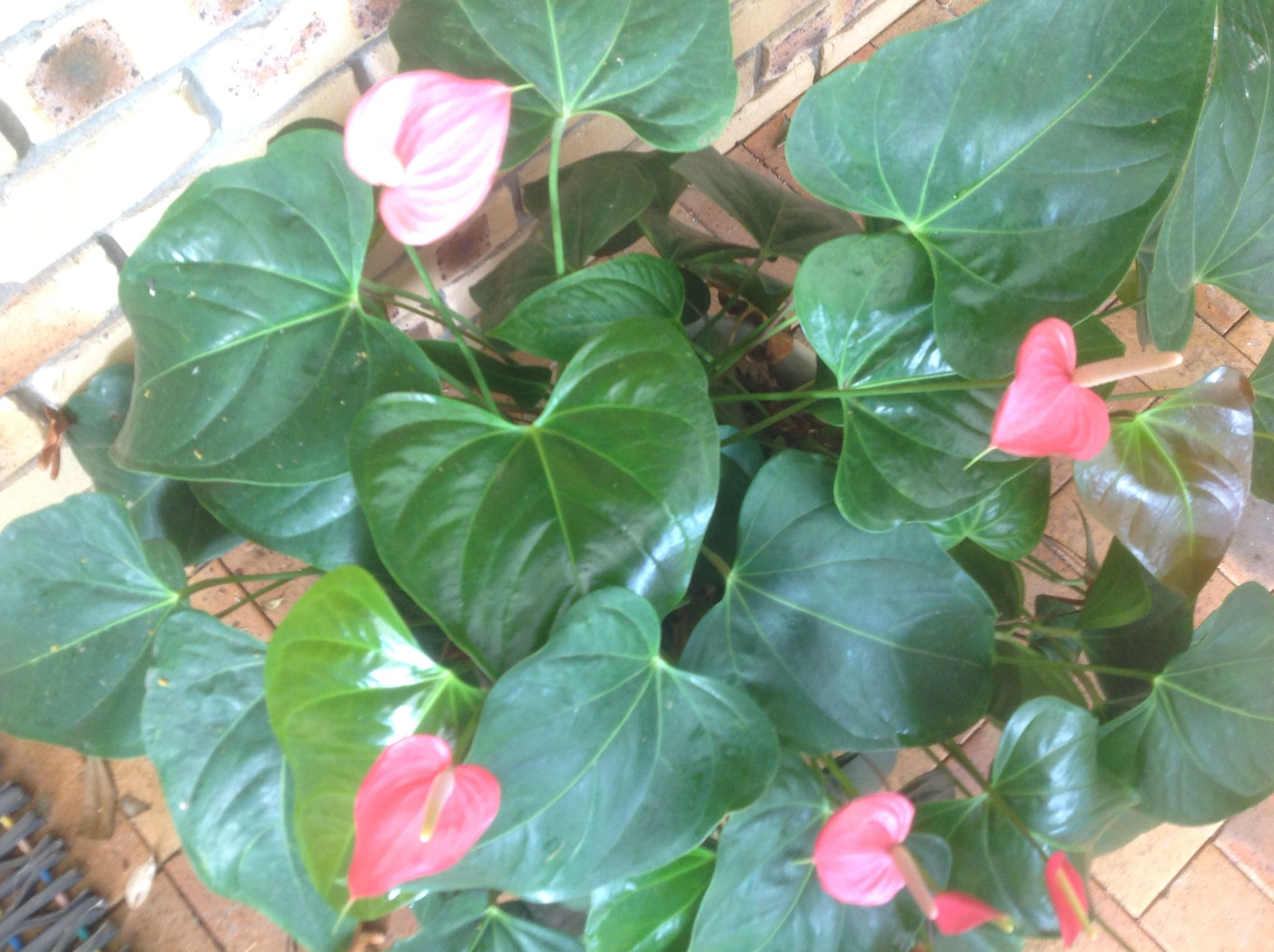 Anthuriums Just Keep Flowering With Images Plant Leaves