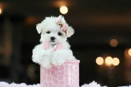 Teacup Maltese Puppy For Sale In Indiana Puppies For Sale
