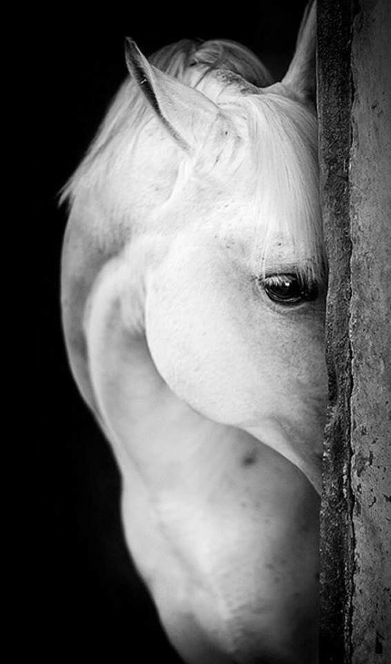 The look of the white horse