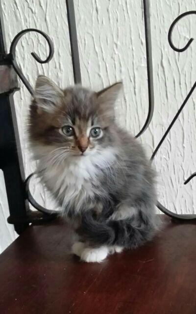 X British X Persian X kittens male female long hair short