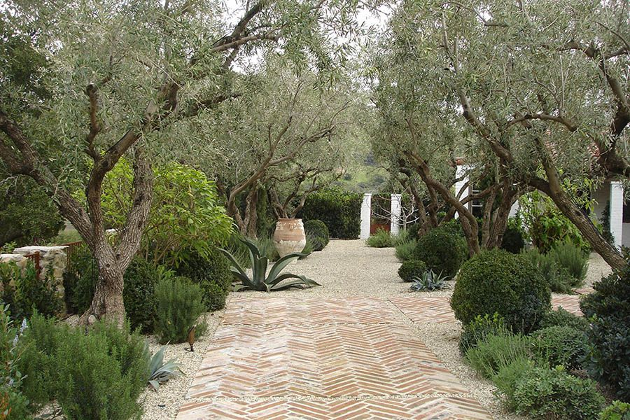 Our Specimen Olive Trees