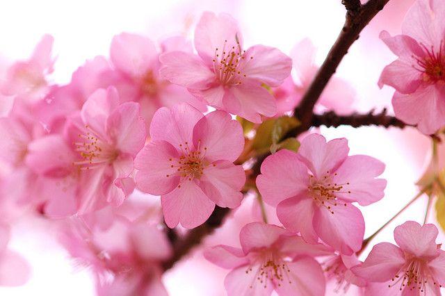 Sakura Flowers Beautiful Flowers Sakura Cherry Blossom