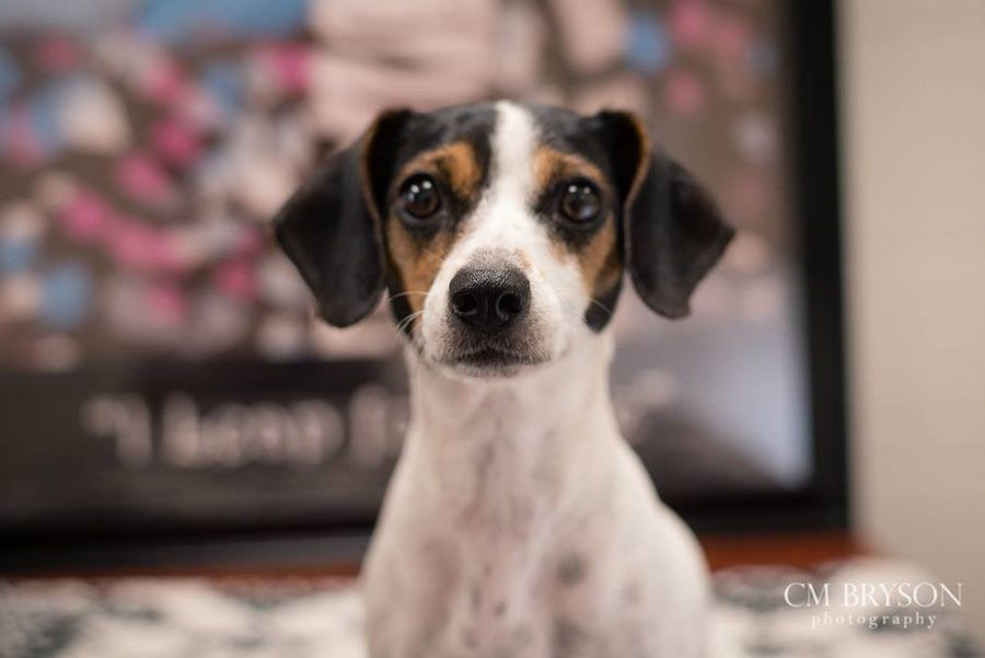 Shiloh Dachshund, Jack Russell Terrier Mix and Siblings ...
