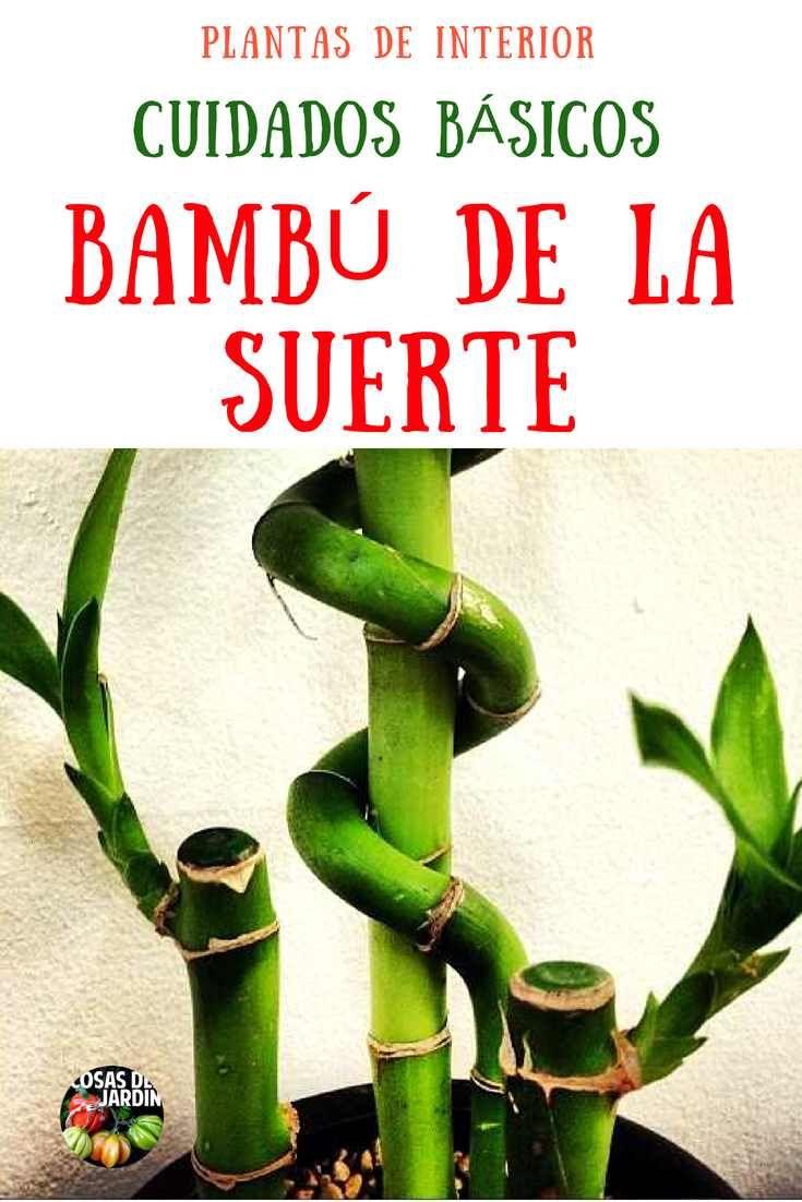 Como cuidar un Bambú de la Suerte – Luz, Riego, Poda, Sustrato, Problemas