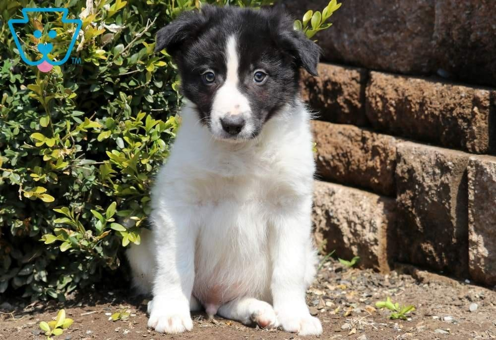 Chip Collie Puppies Collie Puppies For Sale Border Collie Puppies