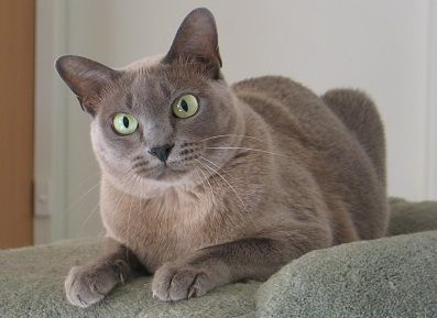 Blue Burmese Cat Burmese Cat Cat Breeds Cat Day