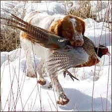 Brittany with pheasant. Dad had a Brittany Spaniel.  It was the last dog he owned.