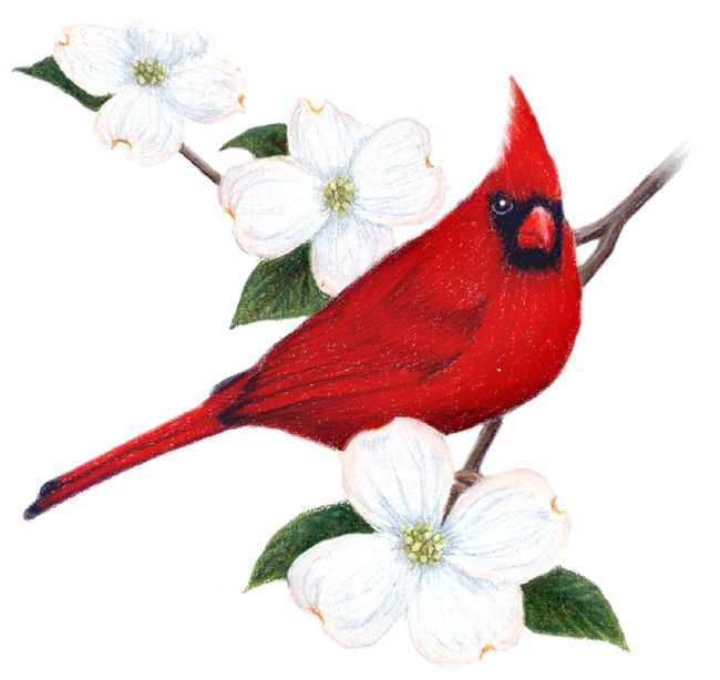 Virginia State Bird And Flower: Cardinal