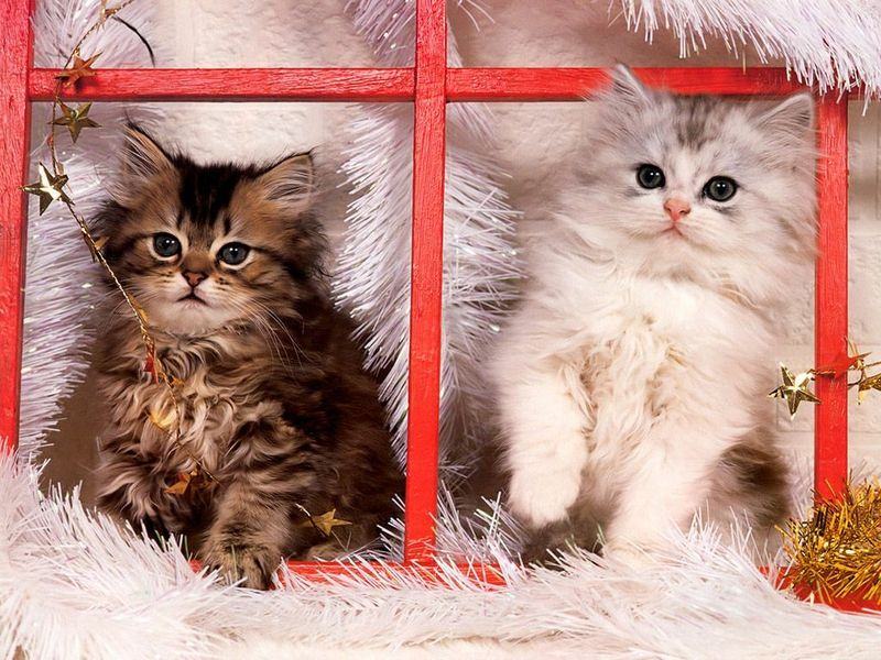 Cat Christmas Christmas Kittens Animals Cats Hd Desktop Wallpaper Christmas Kitten Christmas Cats Cats And Kittens