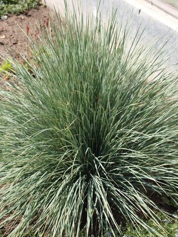 Decorative Grass Calgary   Ornamental Grasses For Sale