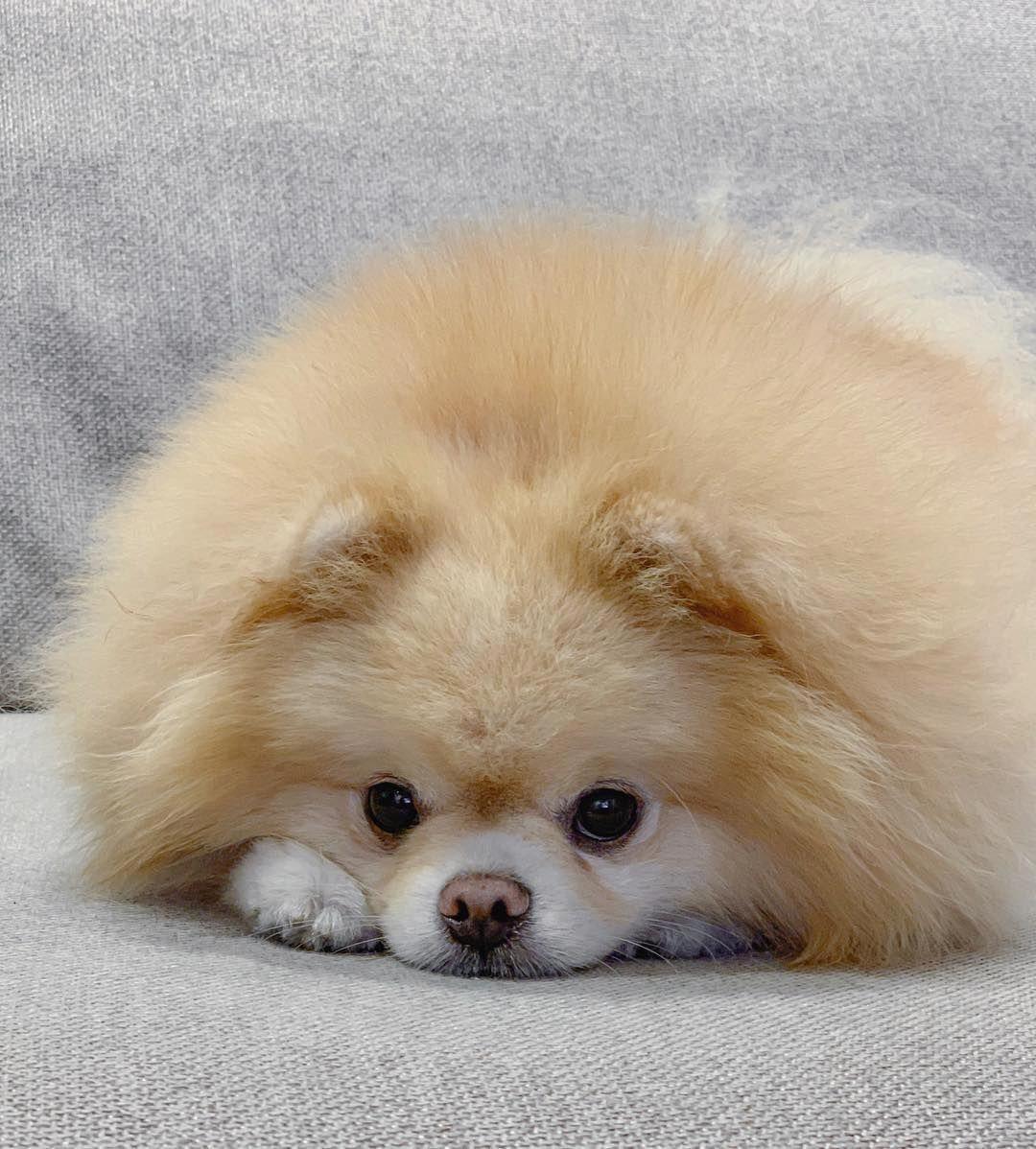 Queridinho Amorinho Meninomax Boo Boo Awesome Do In 2020 Cute Baby Animals Puppies Baby Animals Funny