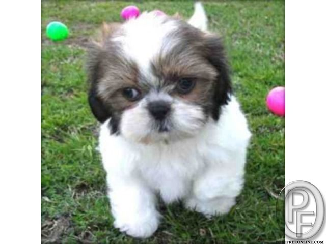 Best Small Breed To Buy Are Shih Tzu In Mumbai Maharashtra India