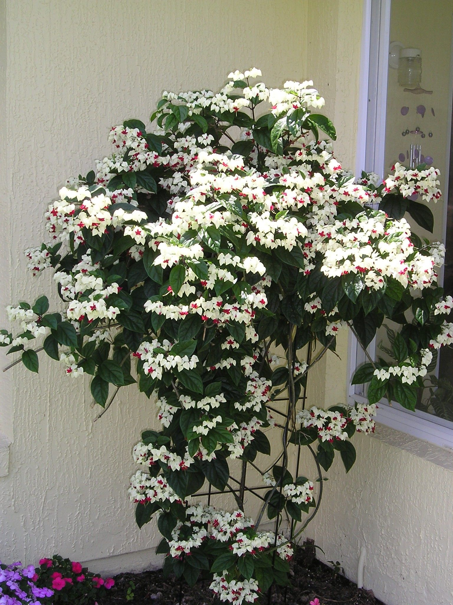 This Is The Bleeding Heart Houseplant That I Have Can T Wait For It To Get That Big Flores Estranhas Trepadeiras Plantas Jardim
