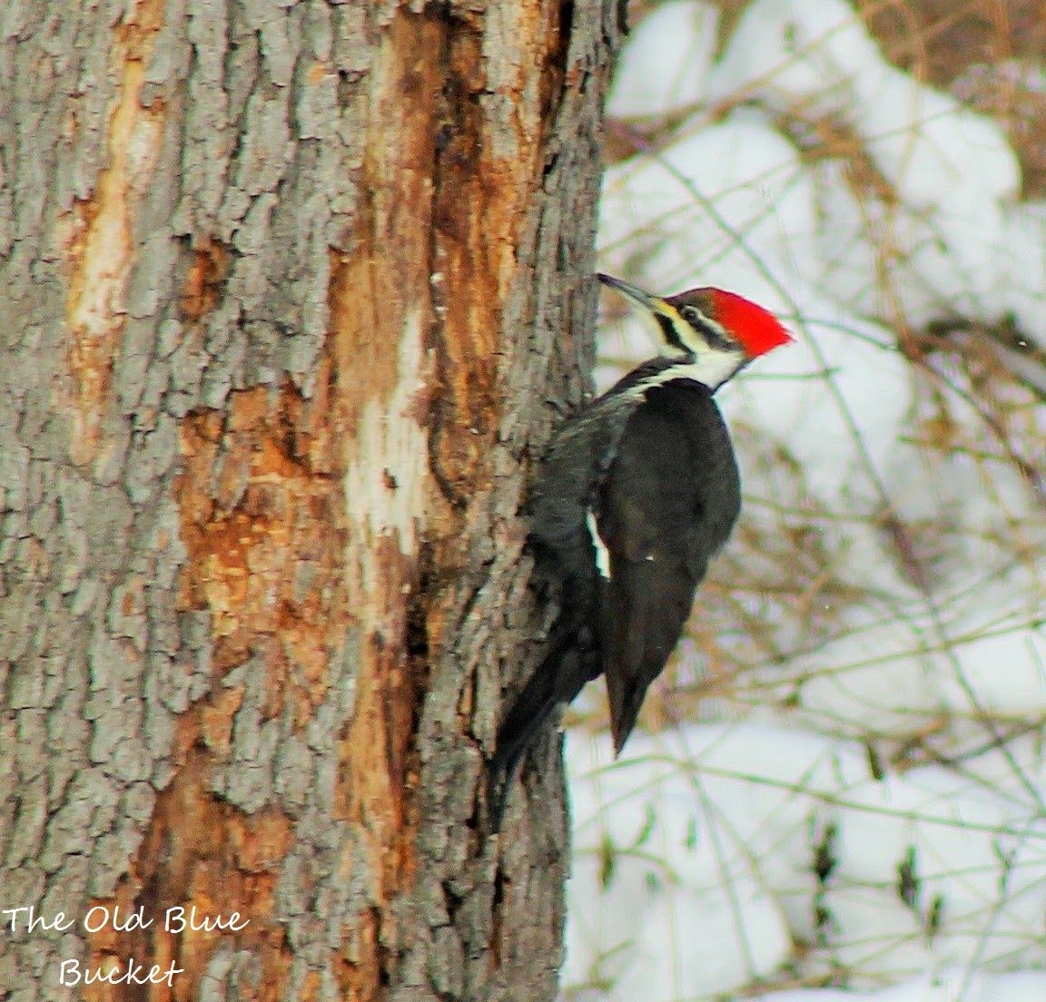 pileated woodpecker searching for insects the old blue bucket