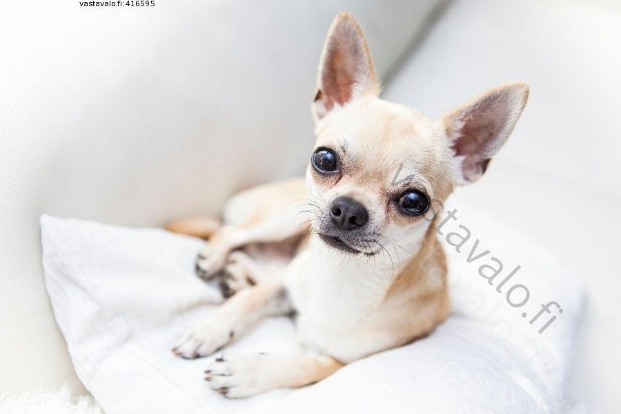 Sohvanvaltaaja Chihuahua Koira Sohva Tyyny Katse Pikkukoira High Key Vaalea Soopeli Rotukoira Lemmikki Pieni Lyhytkarvainen Chihuahua Chihuahua Dogs Animals