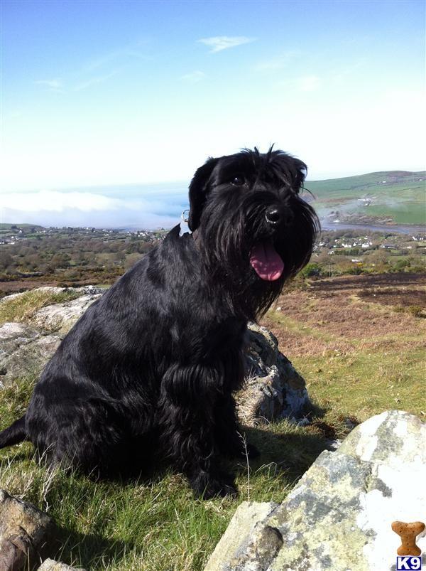 Black standard schnauzer puppies california