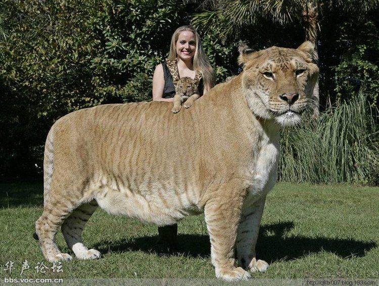 Beau Worldu0027s Biggest Cat Is Called A Liger ! Cross Breed Of Tiger And Lion 900  Pounds, 6 Feet Tall And 12 Feet Long Liger Who Holds The Guinness World  Record For ...
