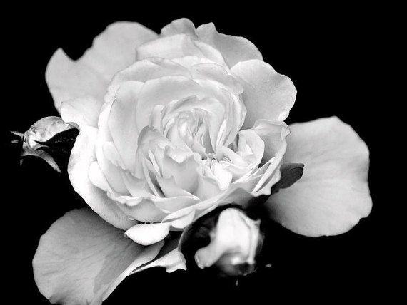 Flower print black white wall art fine art photograph black white flower flower picture white rose black and white rose floral roses