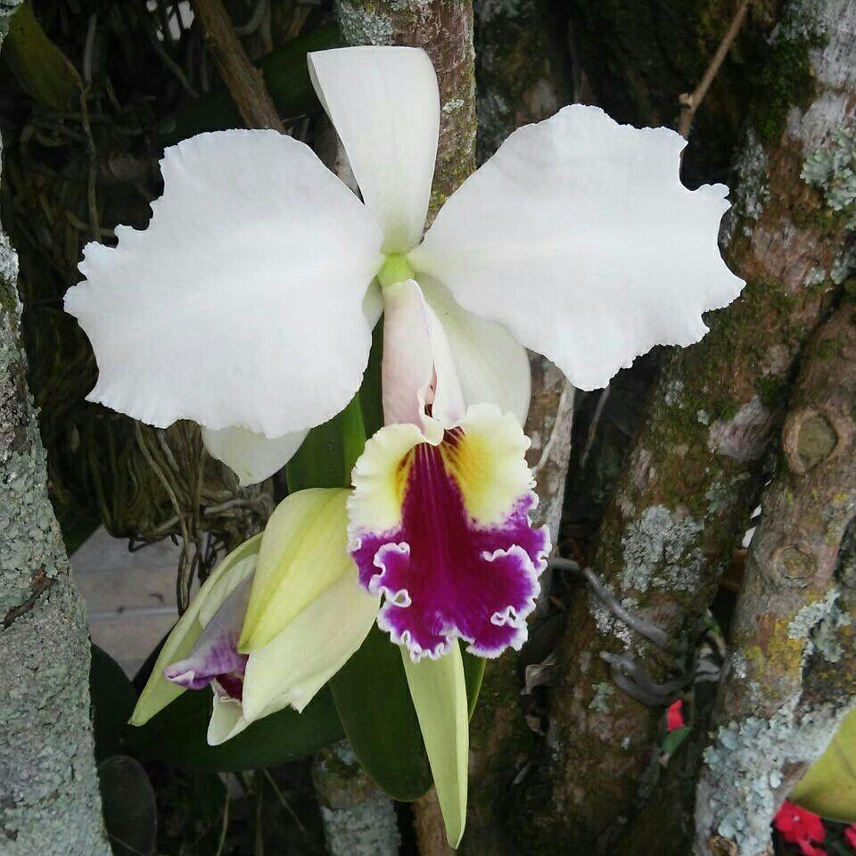As orquídeas do meu Cafofo Lindo - Aracê - Pedra Azul - ES - Março de 2016