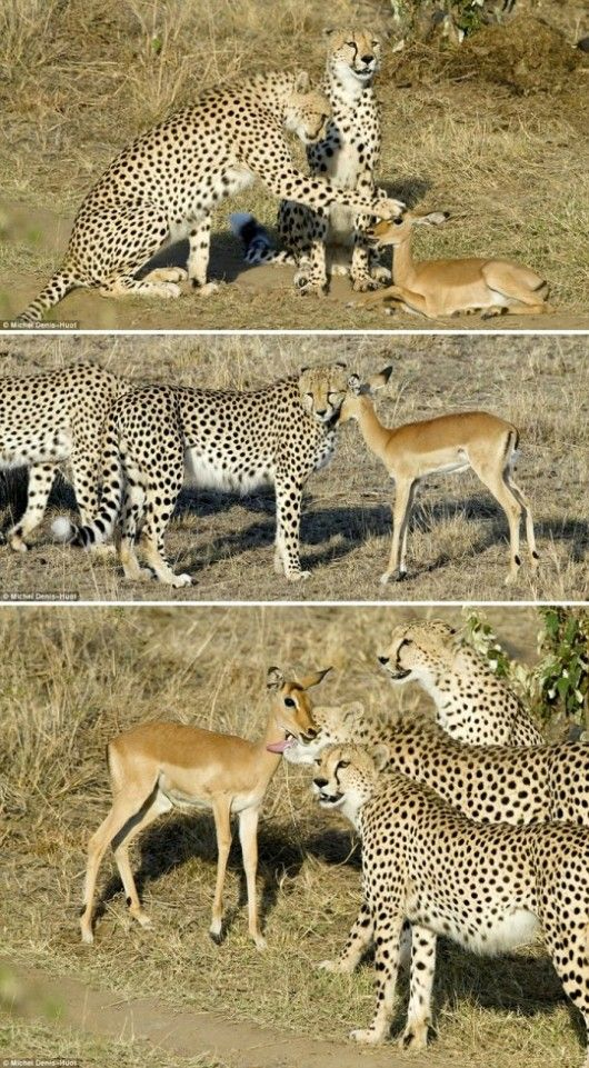 Cheetahs playing with young impala - wow.