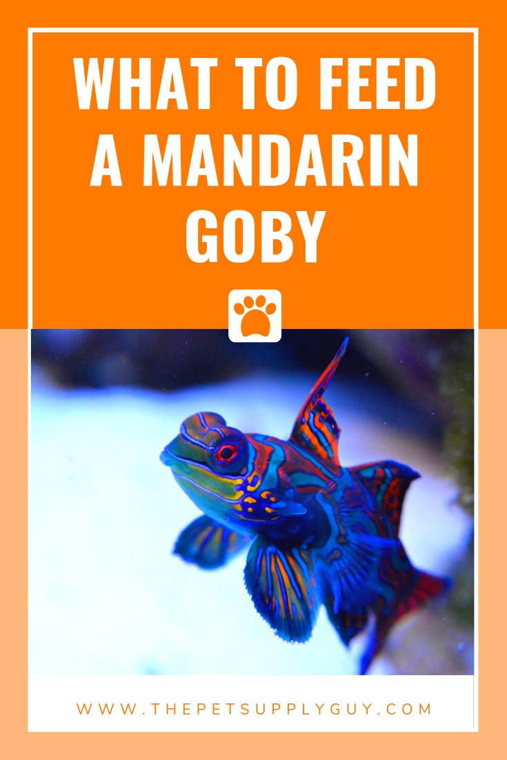 What Do Mandarin Fish Eat Complete List The Pet Supply Guy Mandarin Fish Goby Fish Fish