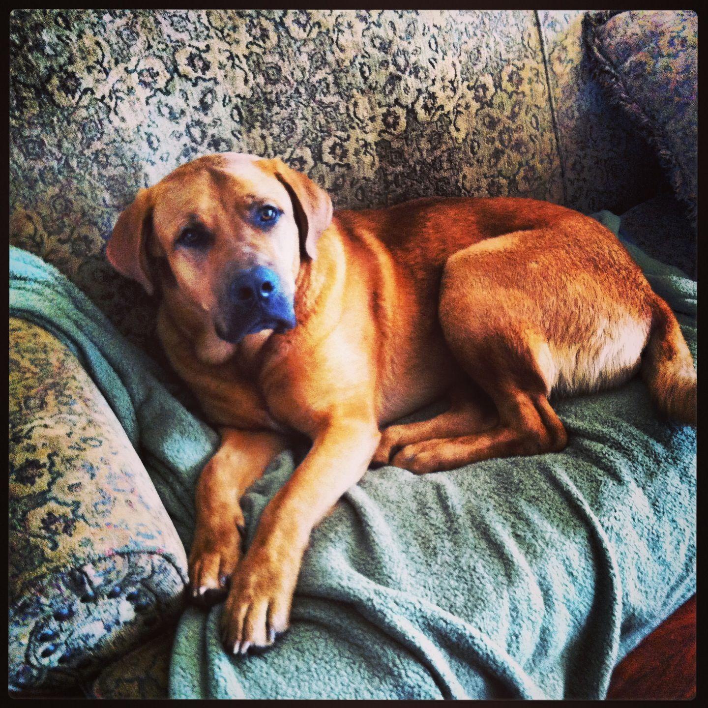 My beautiful Broholmer Mastiff! Sampson!!