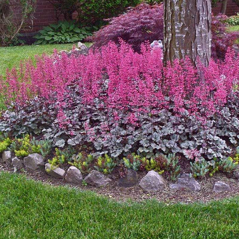Heuchera Rave On Shade, drought resistant, Zone 6, blooms ...