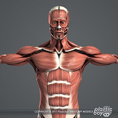 Human Male Muscualr System Anatomy 3D Model V04 (Fully