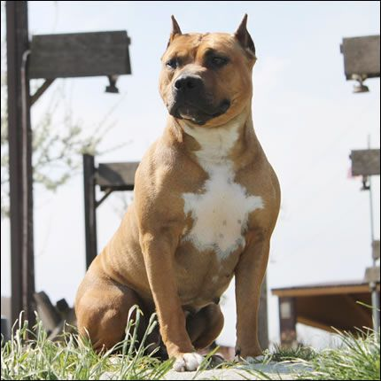 American Staffordshire Terrier Gold Mask American Staffordshire Terrier Staffordshire Terrier Terrier