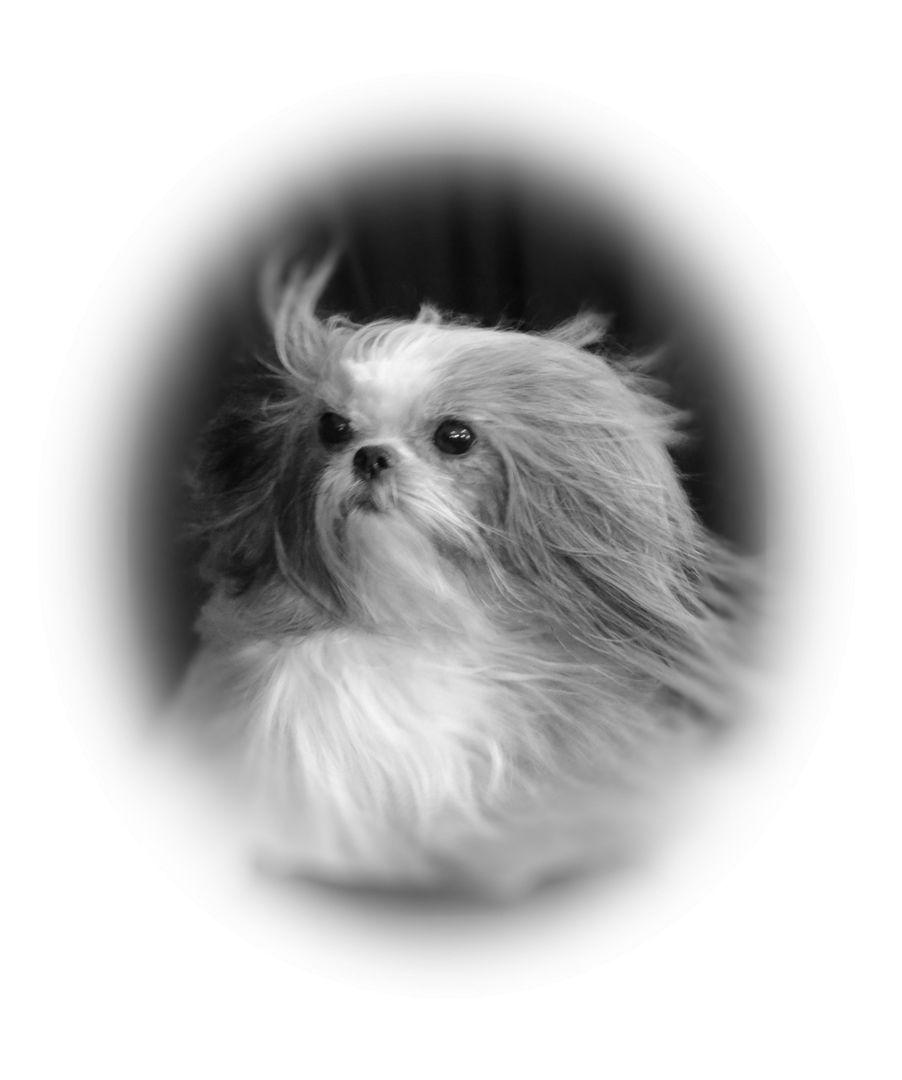 Miki Puppies For Sale Dakota Mikis Puppies, Tiny