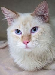 Romeo Adoptable Himalayan Cat In Saint Paul Mn At Feline Rescue Very Affectionate Young Male Playful Mo Baby Cats Animal Abuse Awareness Cats And Kittens