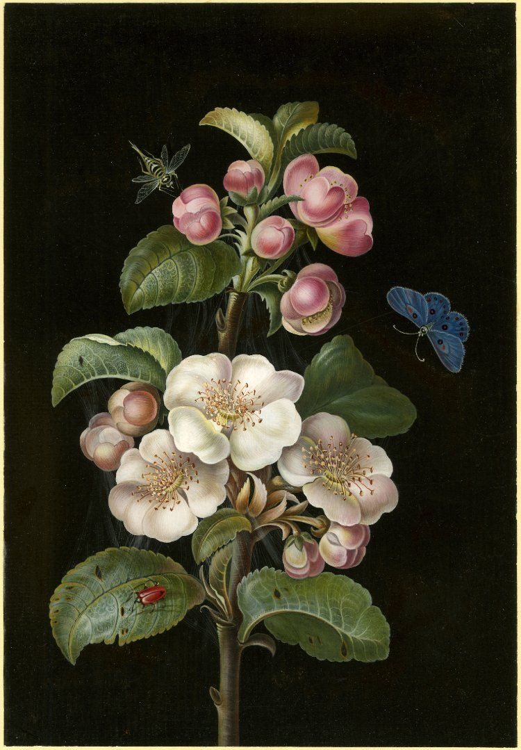 A sprig of Apple Blossom with various insects. Bodycolour on a black background. The artist of the present work is not known, but it is very close to the work of Barbara Regina Dietzsch (1706-1783) and her younger sister Margareta Barbara (1726-1795), from a family of Nuremberg artists. Their work is characterised by its black background which sets off their use of bright colours and a sharp hard finish.