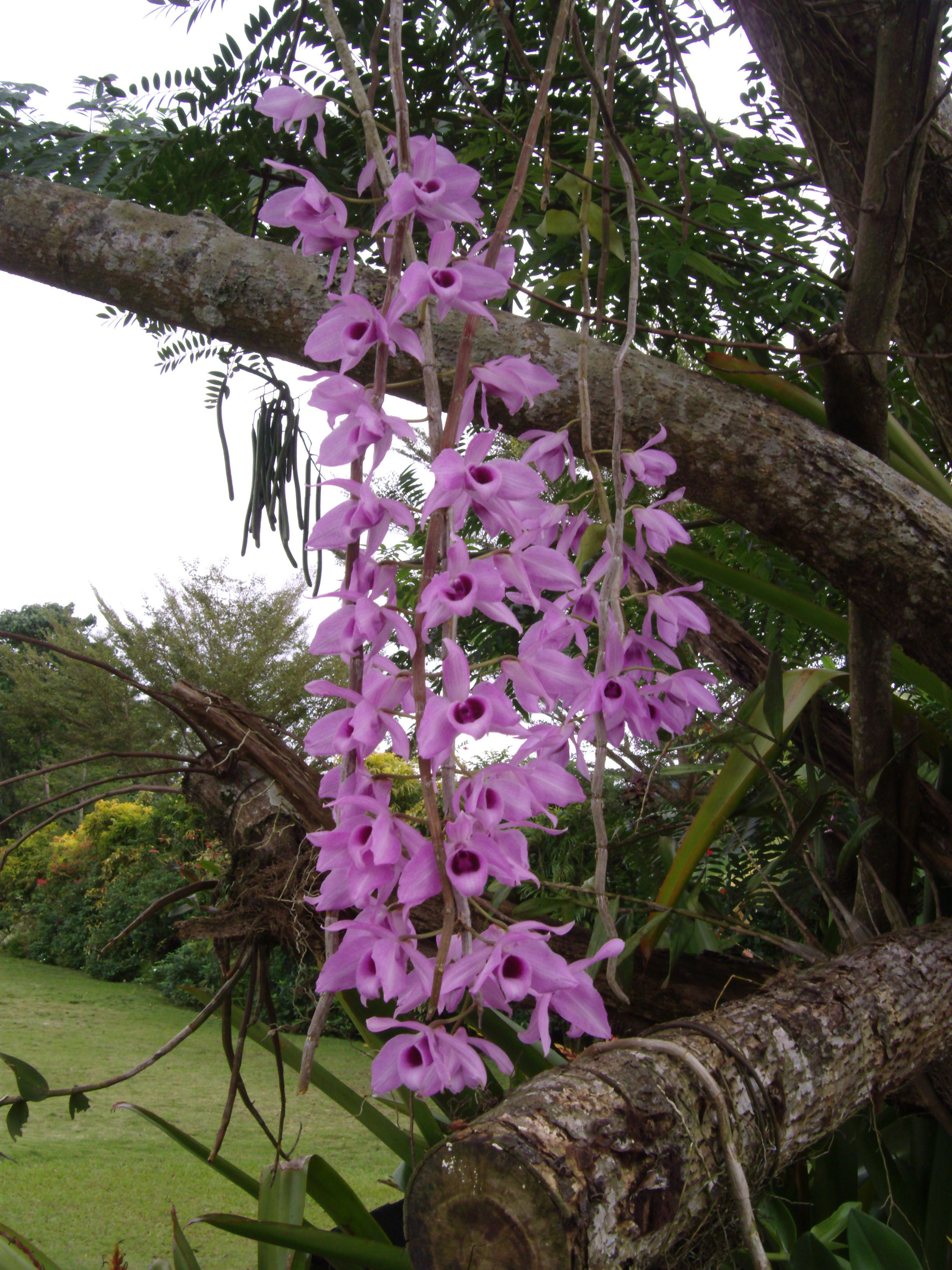 Philippine Orchids Cagayan De Oro City Philippines Beautiful