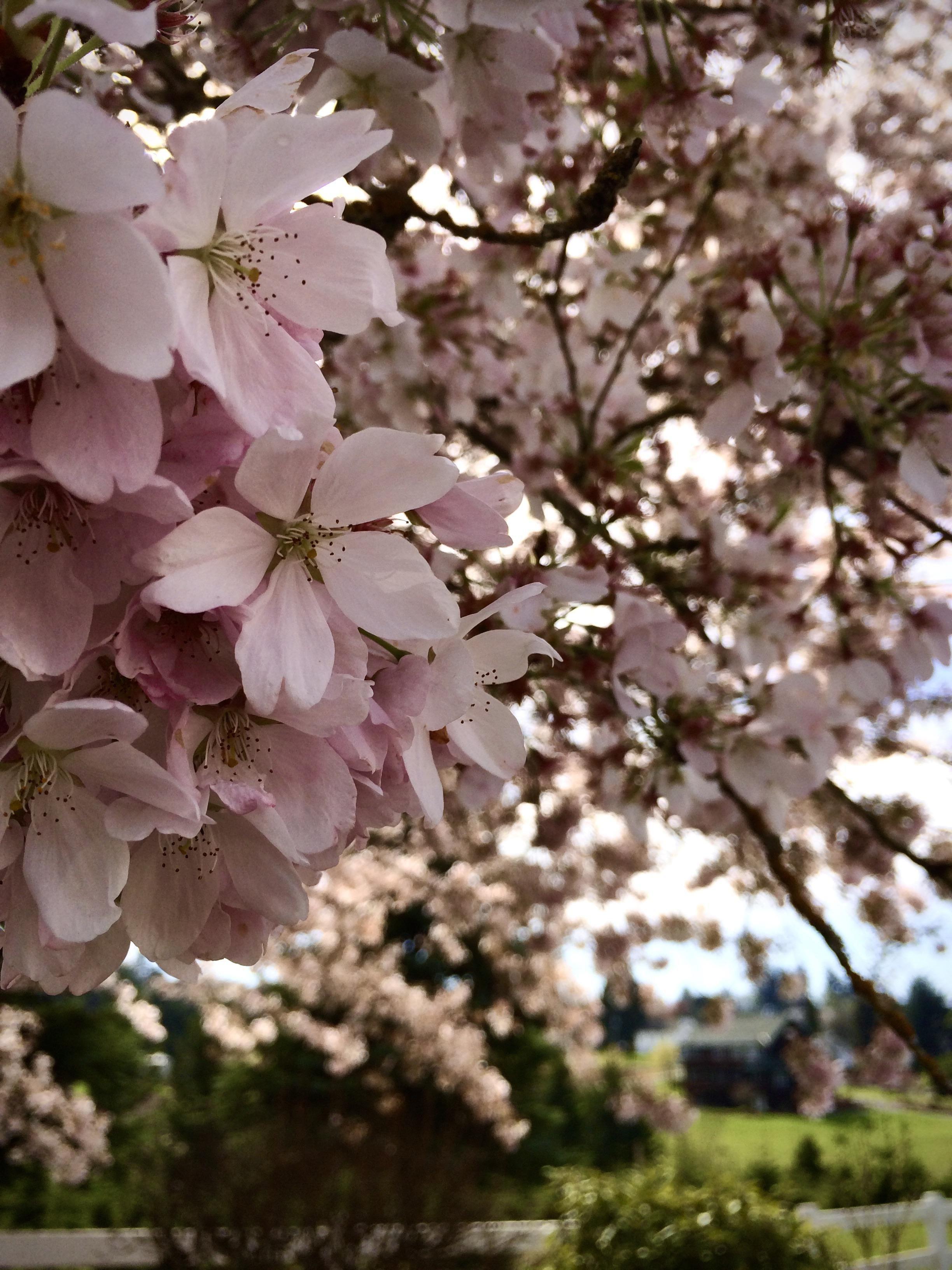Itap Of A Cherry Blossom Tree Cherry Blossom Tree Blossom Trees Cherry Blossom