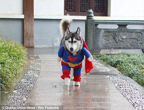 superdog & Real Supermanu0027s Dog | Superman costumes and Dog