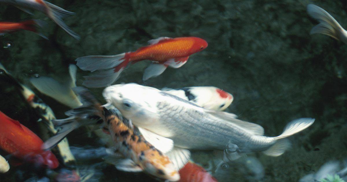 C mo hacer un purificador de agua casero para un estanque for Como hacer un estanque para peces koi