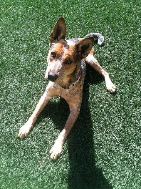 Mia is a Australian Cattle Dog mix at Lubbock Animal