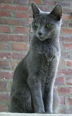 Cat Species Riseoftheclans Com In 2020 Cat Breeds Russian Blue Blue Cats