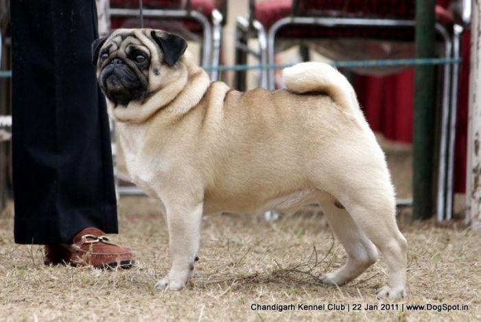 Am Ch Lnl S Sunni S Little Mack Pug Chandigarh 2012 Chandigarh 2012 Pugs Cute Dogs Dog Images