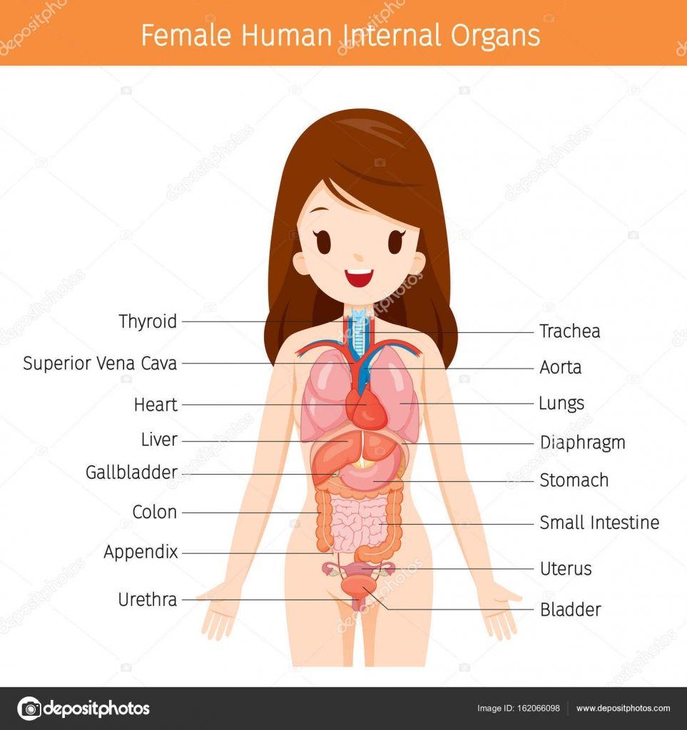 Organs Diagram Anatomy Human Anatomy Organs Pinterest Anatomy