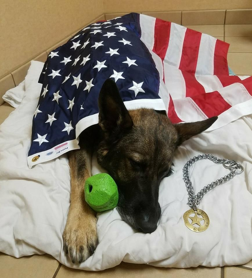 Remembering K9 Ace Plans For A Memorial For Ace Are Being Made And