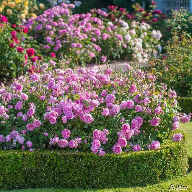 Westbury Gardens Rose Garden: David Austin-Rose 'Harlow Carr®' Rosa 'Harlow Carr