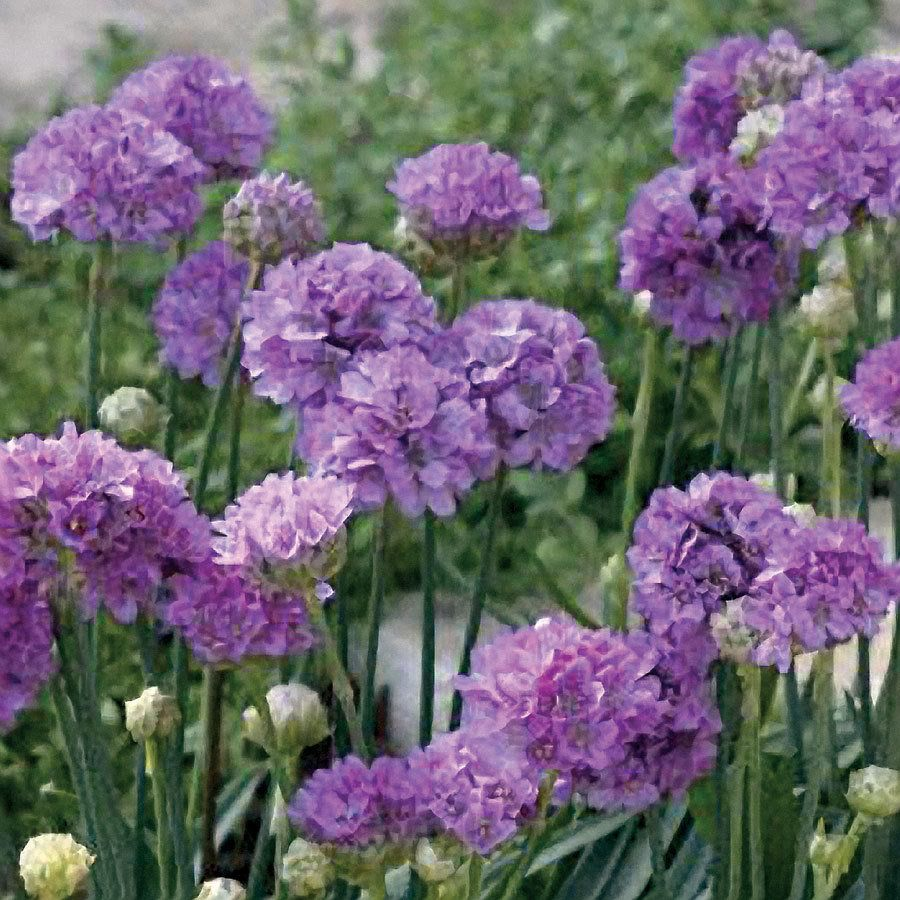 Ballerina Lilac Armeria Pseudoarmeria Sea Pinks Plant In The
