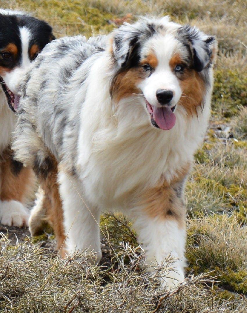 Aussie Shepherd Aussiepuppies Aussie Dogs Australian Shepherd Dogs