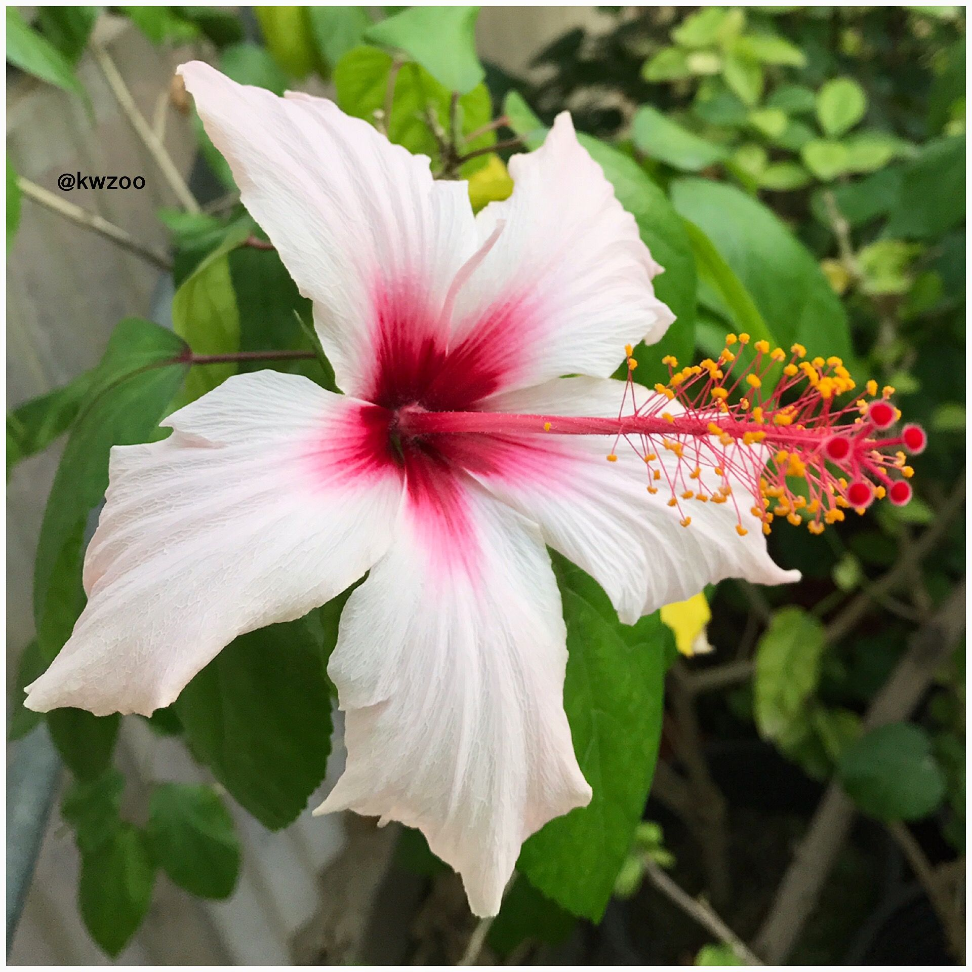 Hibiscus Flower Kuwaitzoo Hibiscus Flowers Pretty Flowers Beautiful Flowers